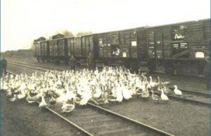 Žąsys varomos į Kretingos geležinkelio stotį.