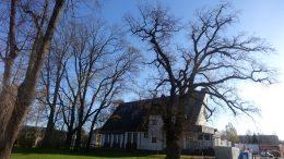 Šilutės miesto centre augantis ąžuolas siūlomas paskelbti Gamtos paminklu.