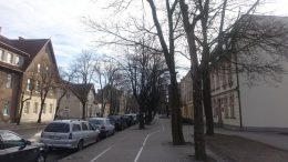 Istoriniai medžiai bus keičiami jaunais.