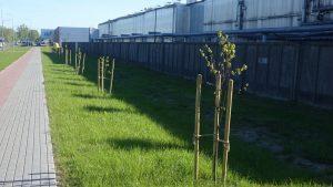 """Naujieji augalai prie """"Šilutės baldų"""" teritorijos."""