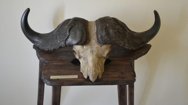 Afrikos buivolo ragai (Šilutės muziejaus rinkiniai)