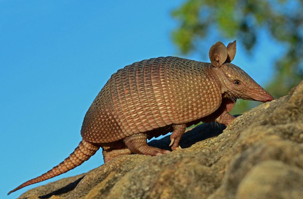 Dasypus Septemcinctus. Wikipedia.